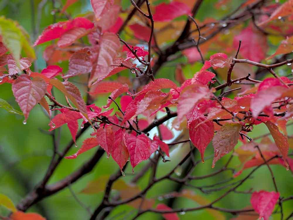 札幌9月の紅葉