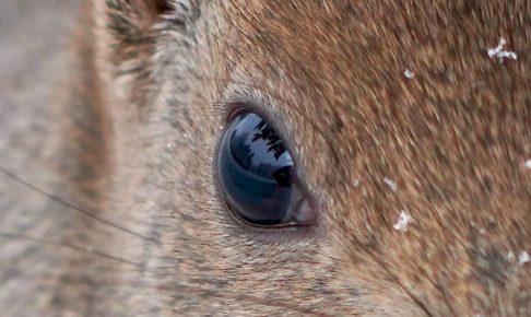 エゾリスの瞳
