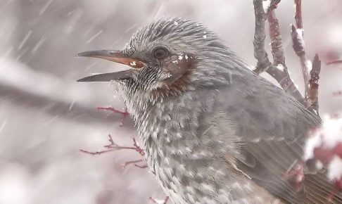 ヒヨドリ吹雪