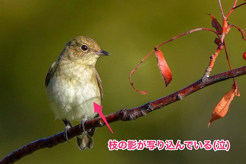 野鳥写真に枝の影が写っている