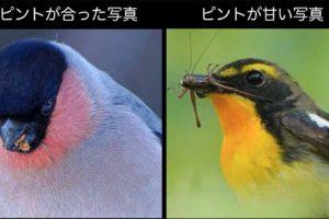 野鳥写真の解像度とピントの違い