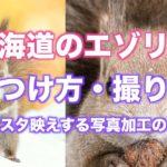 【北海道のエゾリス】見つけ方/撮り方/インスタ映えする写真加工解説【初心者向け】