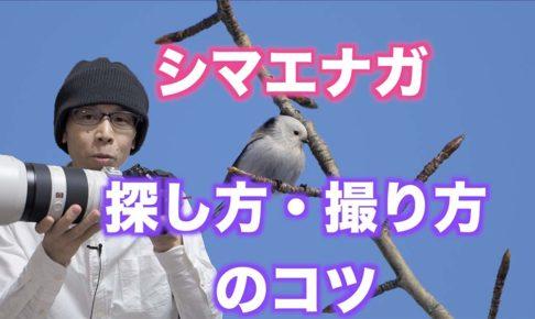 【野鳥写真の撮り方】シマエナガの見つけ方と撮り方のコツ【初心者向け】