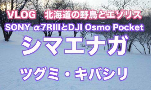 【北海道の野鳥】シマエナガ・ツグミ・キバシリ/α7RIIIとDJI Osmo Pocket 【VLOG撮影】#006